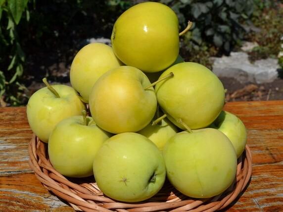 Саженцы яблони, сорт Папироянтарное,Свердловская селекционная станция садоводства