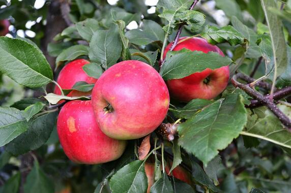 Саженцы яблони, сорт Благая весть, Свердловская селекционная станция садоводства