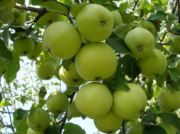Саженцы яблони, сорт Свердловчанин, Свердловская селекционная станция садоводства
