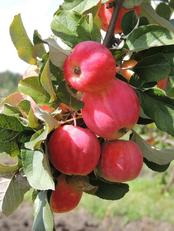 Саженцы яблони, сорт Горнист, Свердловская селекционная станция садоводства