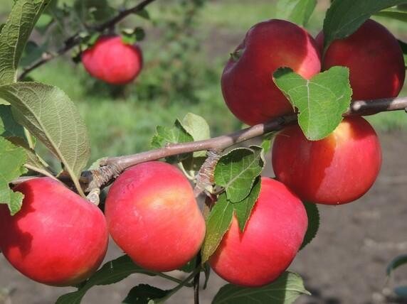 Саженцы яблони, сорт Розочка, Свердловская селекционная станция садоводства