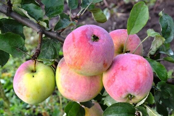 Саженцы яблони, сорт Данила, Свердловская селекционная станция садоводства