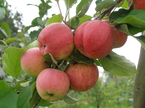 Саженцы яблони, сорт Аксена,Свердловская селекционная станция садоводства