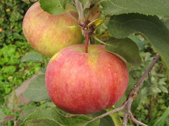 Саженцы яблони, сорт Первоуральская, Свердловская селекционная станция садоводства